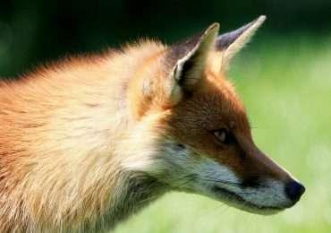 Quiz quanto ne sai sulla volpe! Scopri i segreti degli animali e dei vulpini.