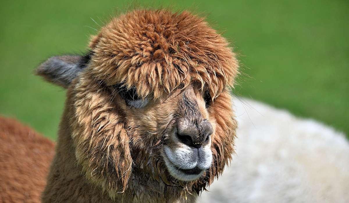 L'alpaca è un ruminante.