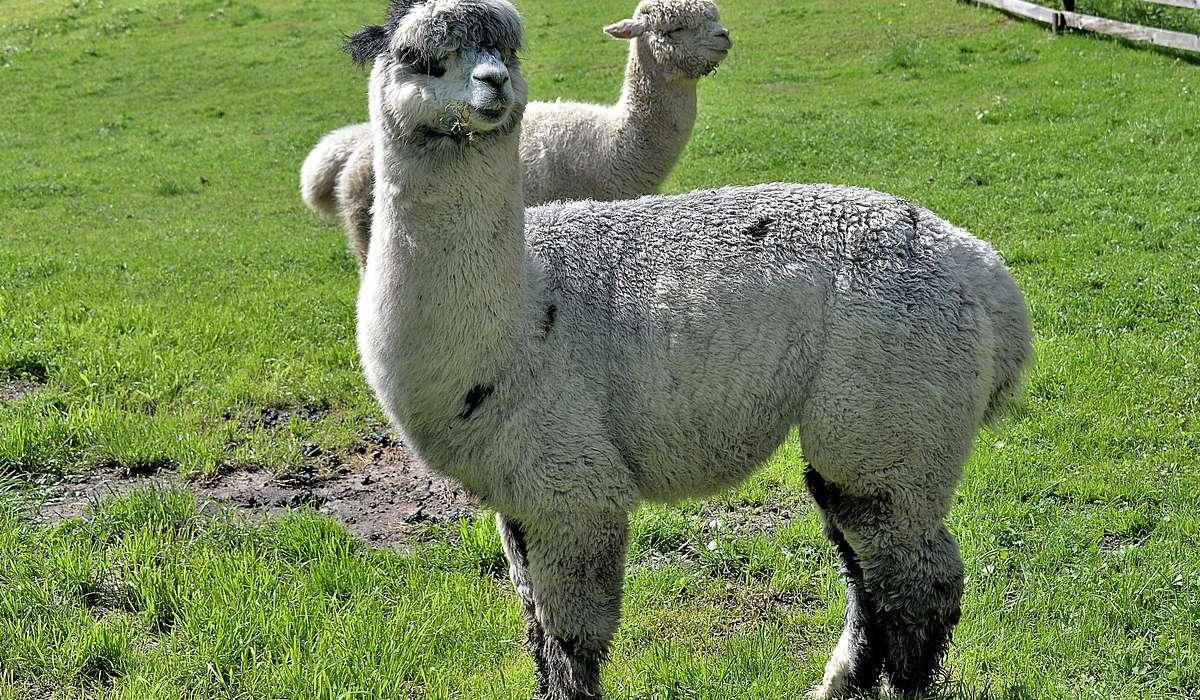 La lana di alpaca: