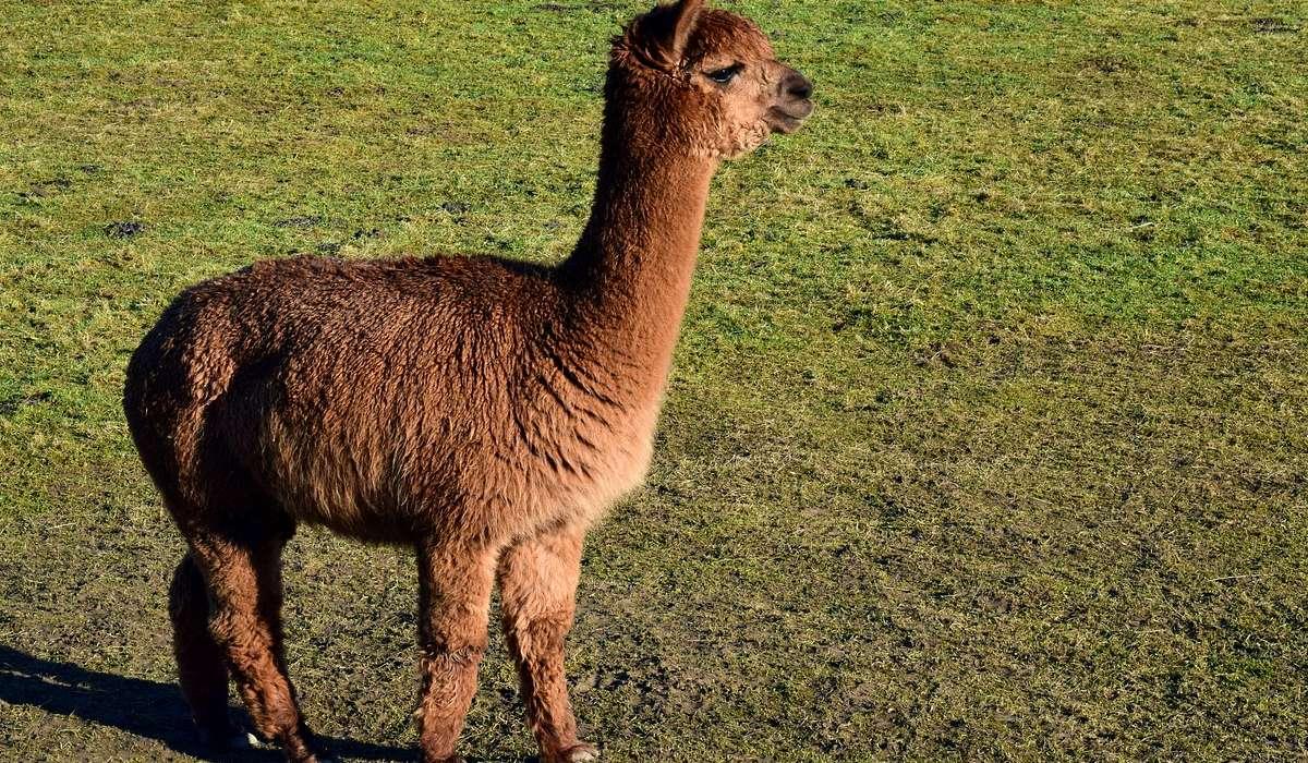 Gli individui di alpaca sono diffusi in: