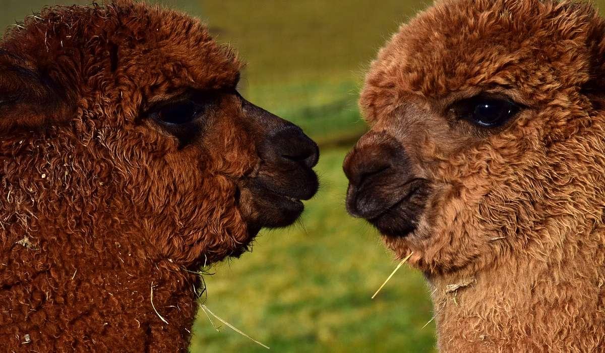 Quante razze di alpaca esistono?