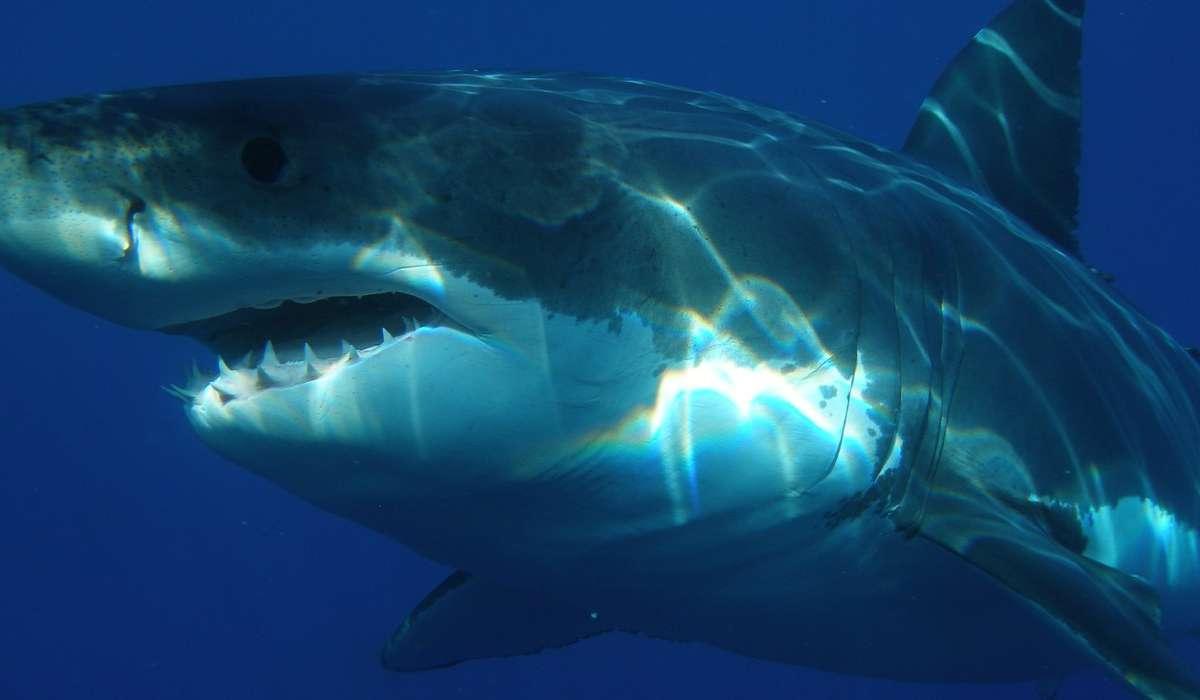 Con quale nome è anche noto lo squalo bianco?
