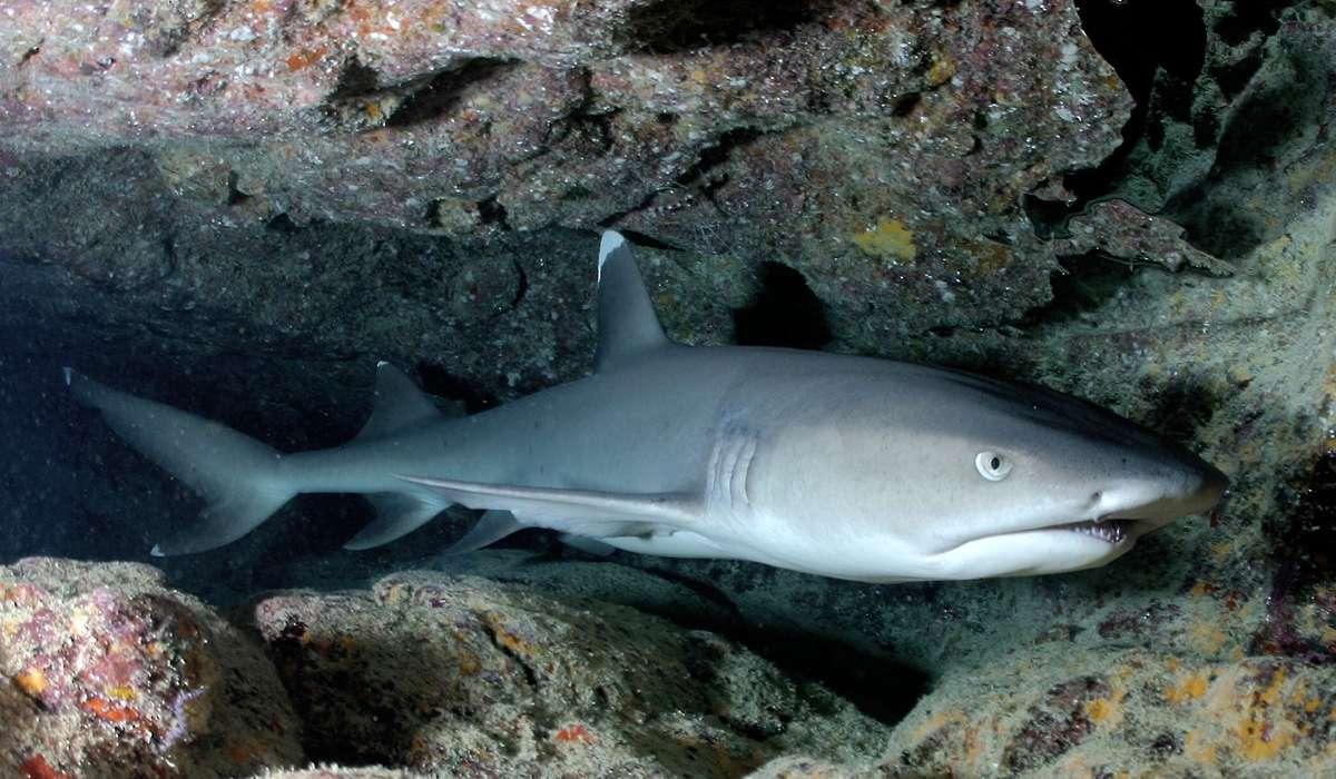 Come si chiama lo squalo in figura?