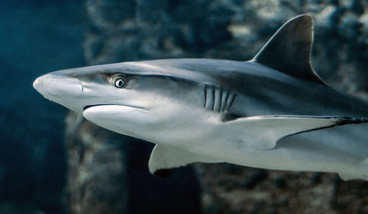 Cosa devono fare gli squali per poter respirare?