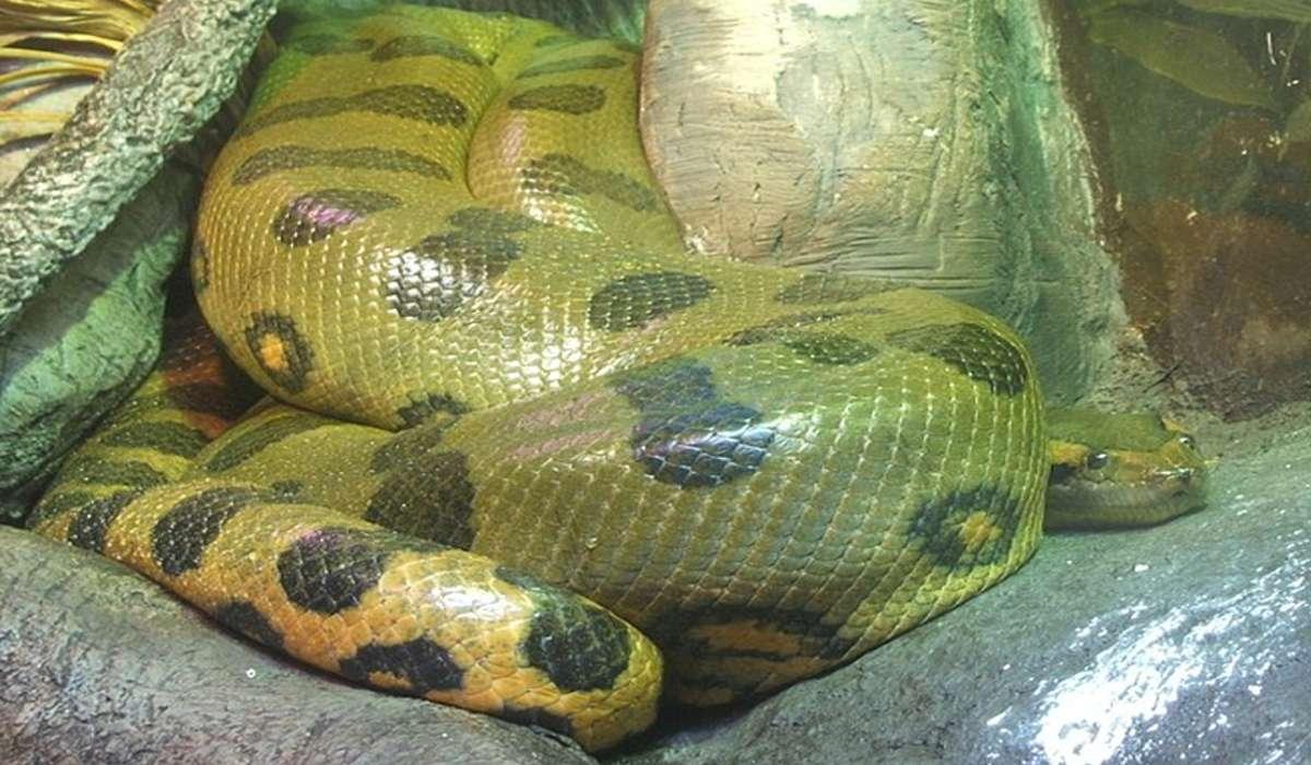 Quanto può arrivare a pesare l'anaconda verde?