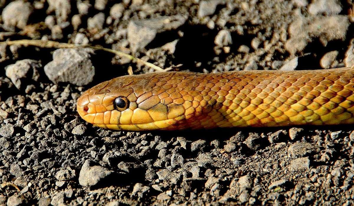 I serpenti che appartengono alla famiglia Viperidae sono lunghi: