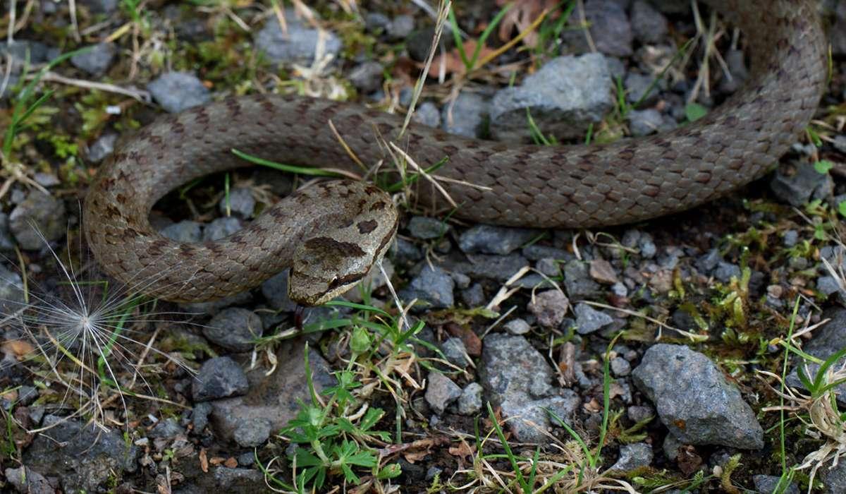 Quale di questi serpenti non è velenoso?