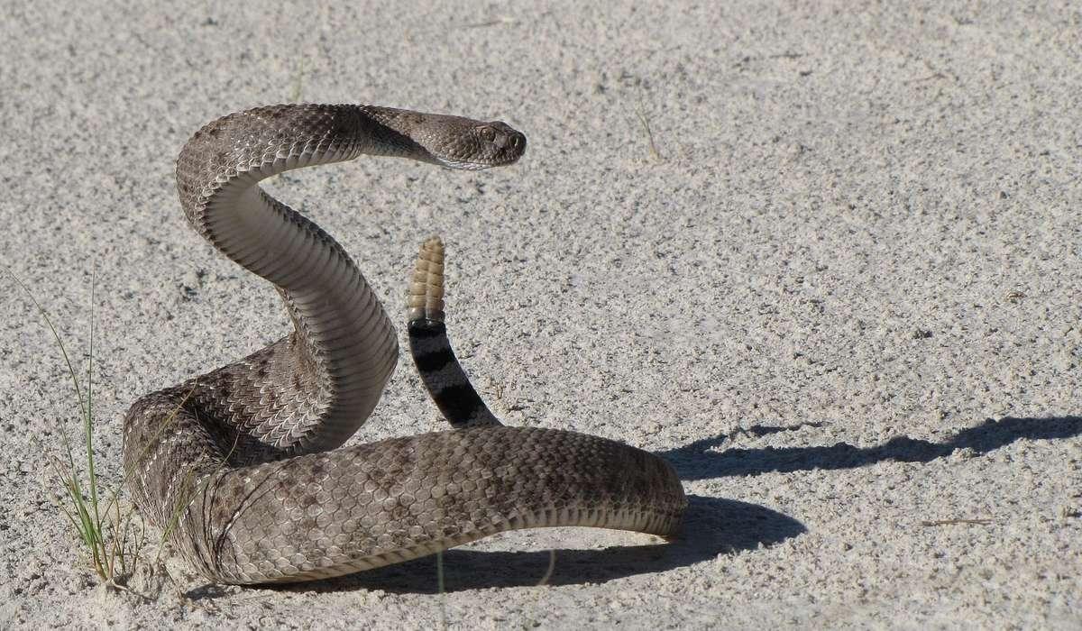 Come si chiama il serpente in figura?