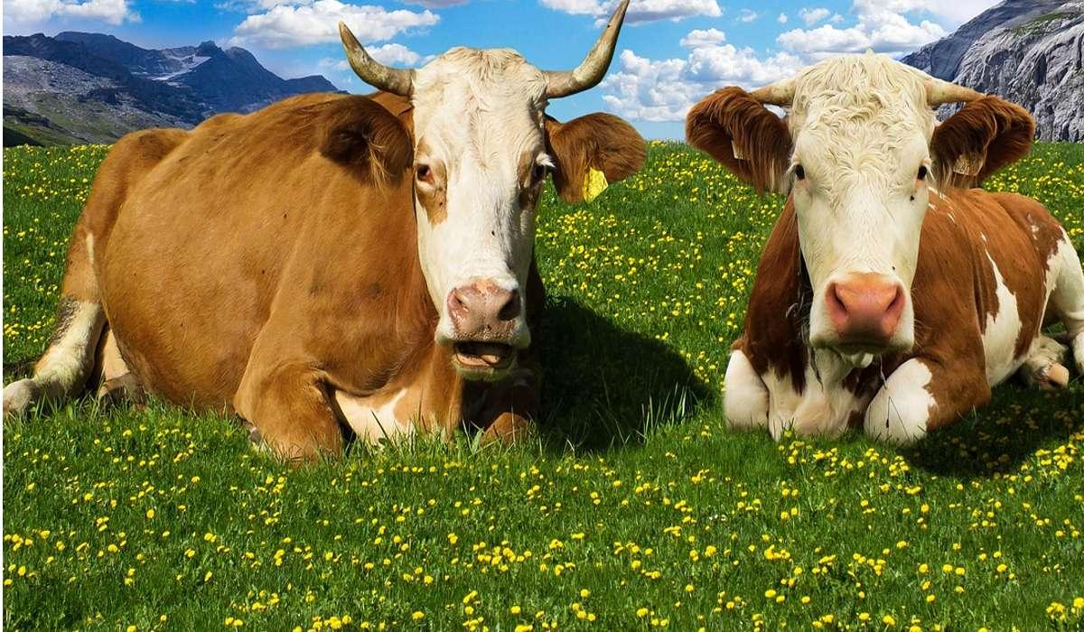 Cosa provoca il metano rilasciato dal bestiame?
