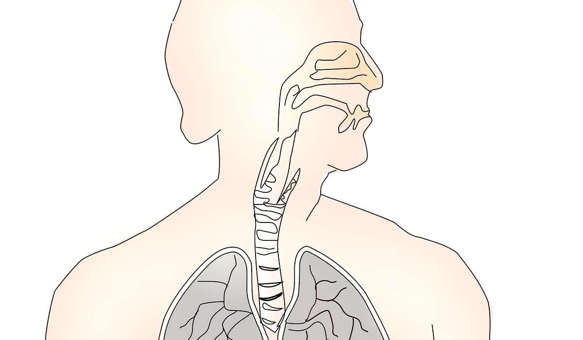 Dalla gola, i fluidi ingeriti possono passare nella _____ piuttosto che nell'esofago.