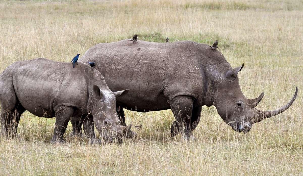 Di cosa è composto il corno di un rinoceronte?