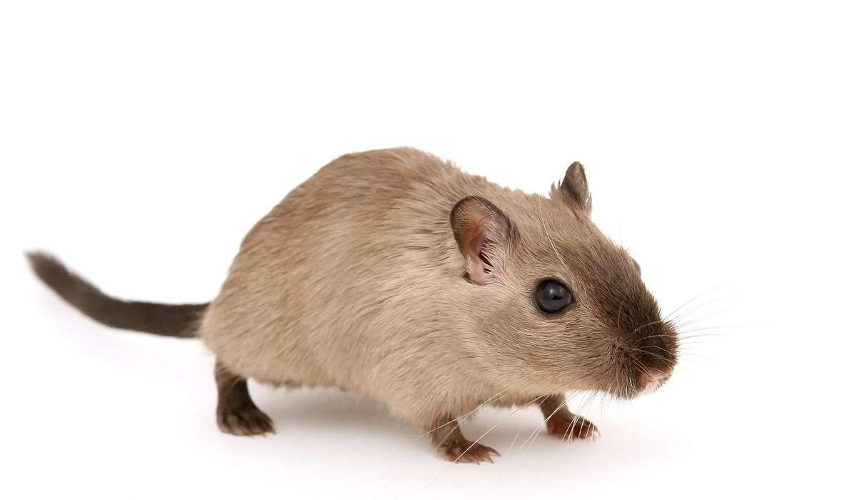 Paura dei topi