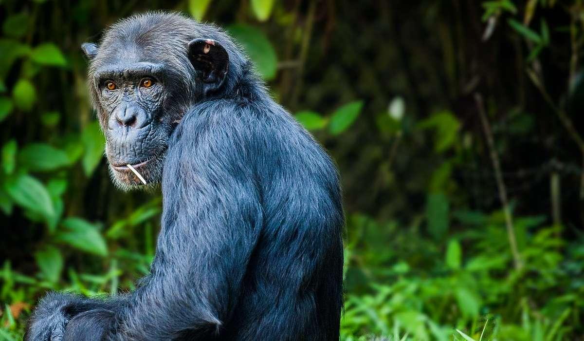 Quanto sono alti mediamente gli scimpanzé sulle quattro zampe?