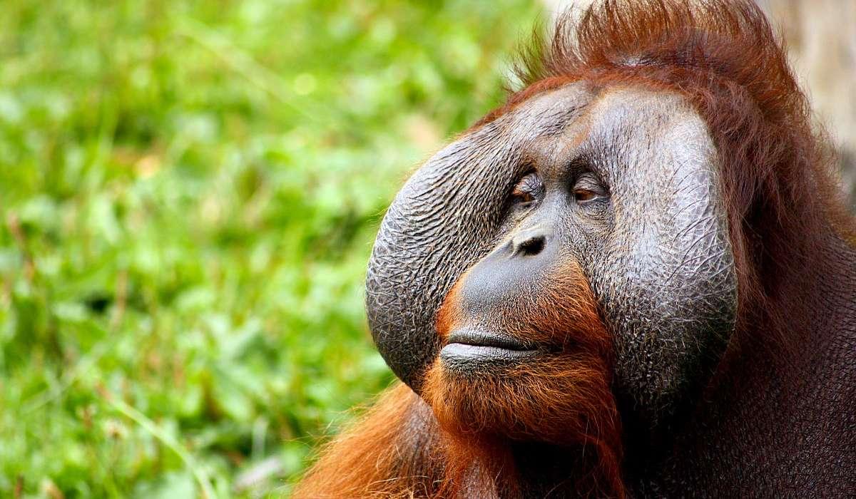 Alcuni oranghi, come anche lo scimpanzé è il bonobo, ha sviluppato quale capacità?