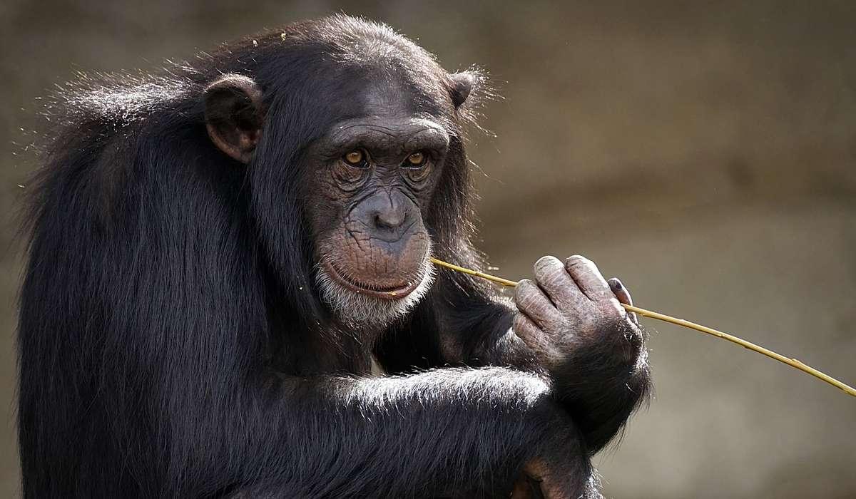 Quanto pesano mediamente i maschi di scimpanzé?