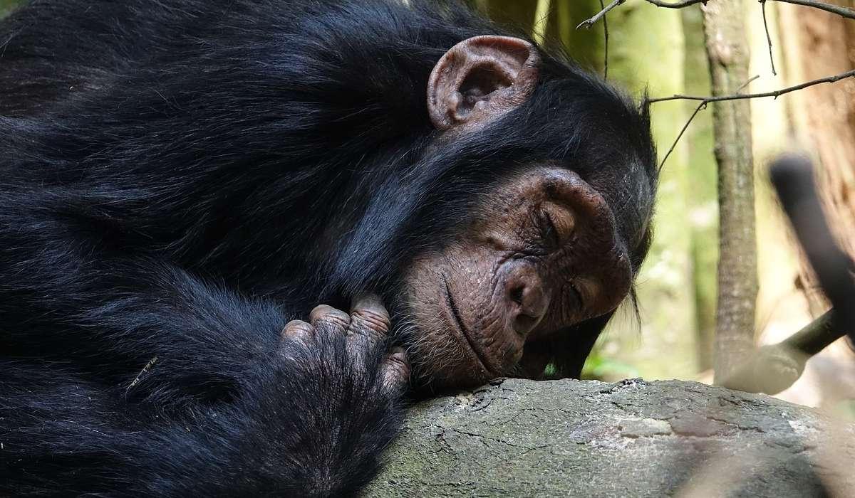 Lo scimpanzé è