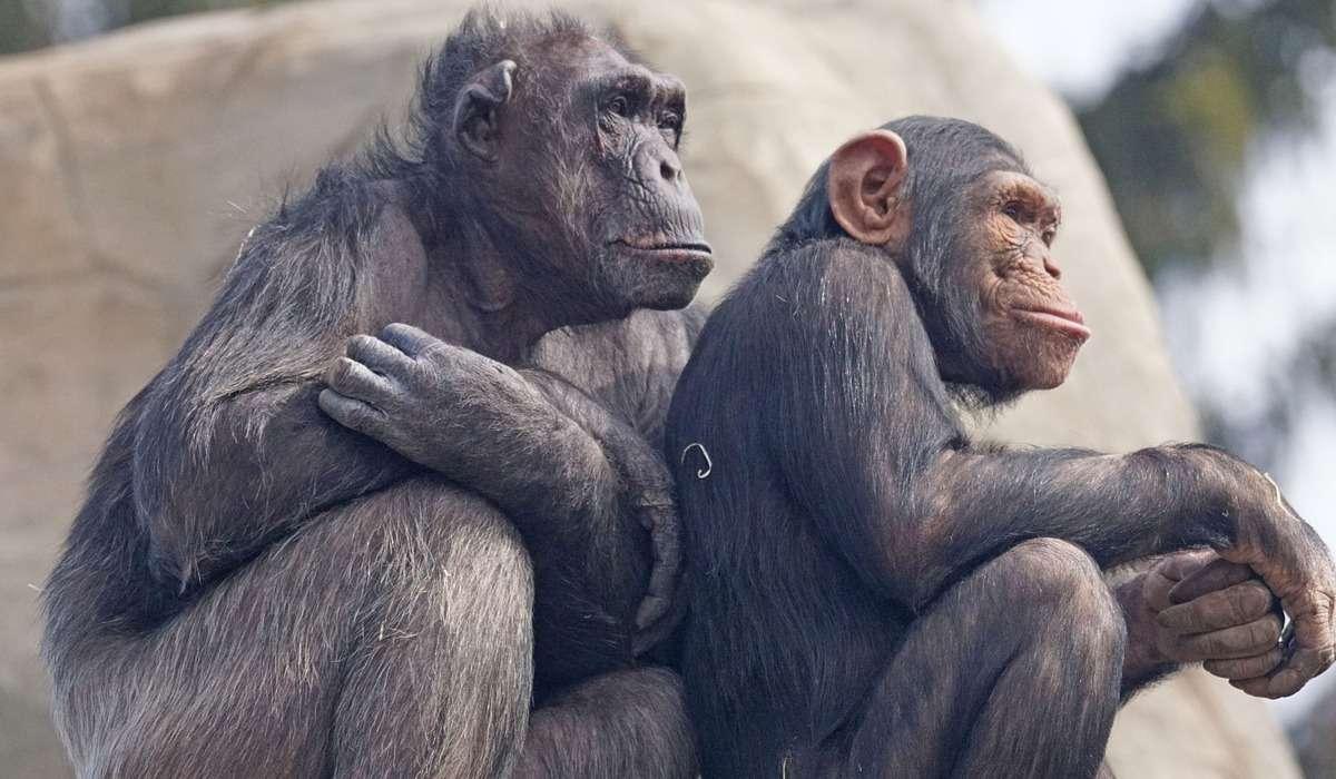 Gli scimpanzé cacciano anche in gruppo.