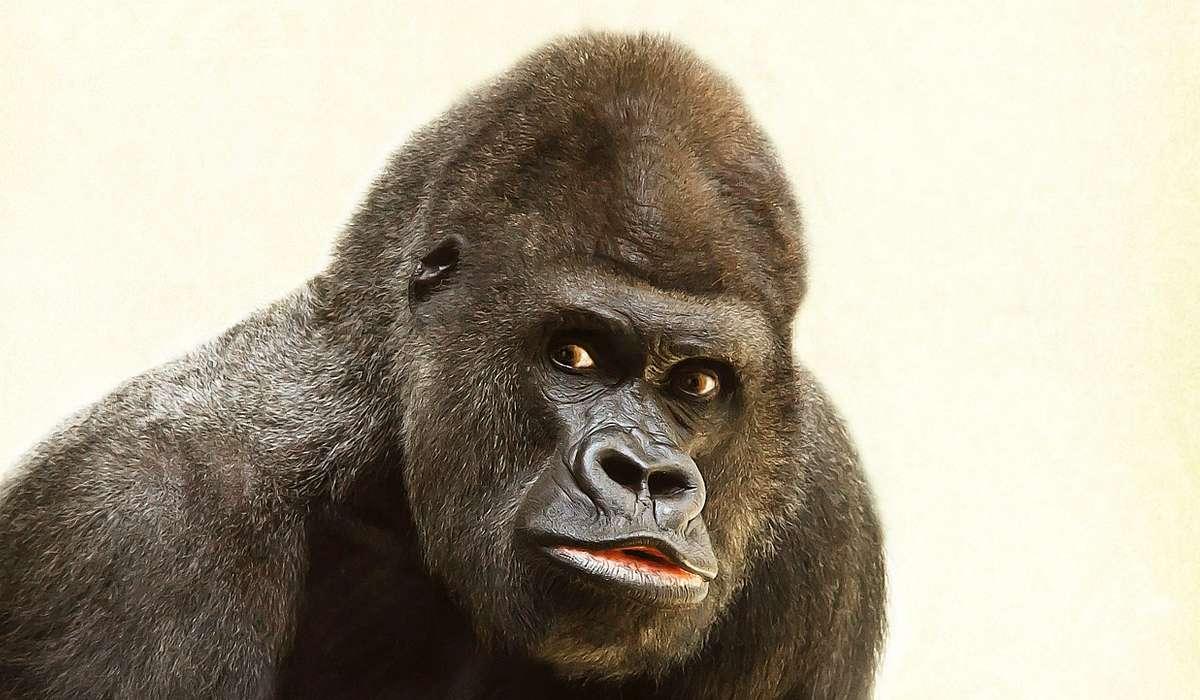 Quanto pesava il gorilla in salute più grande mai individuato?