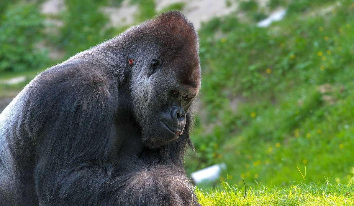Qual è la caratteristica principale dei gorilla?