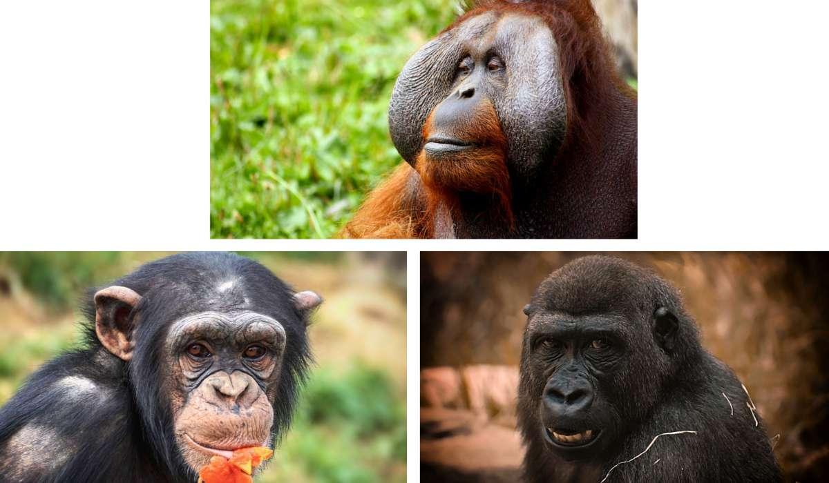 Quale di queste scimmie non fa parte delle stessa sottofamiglia?