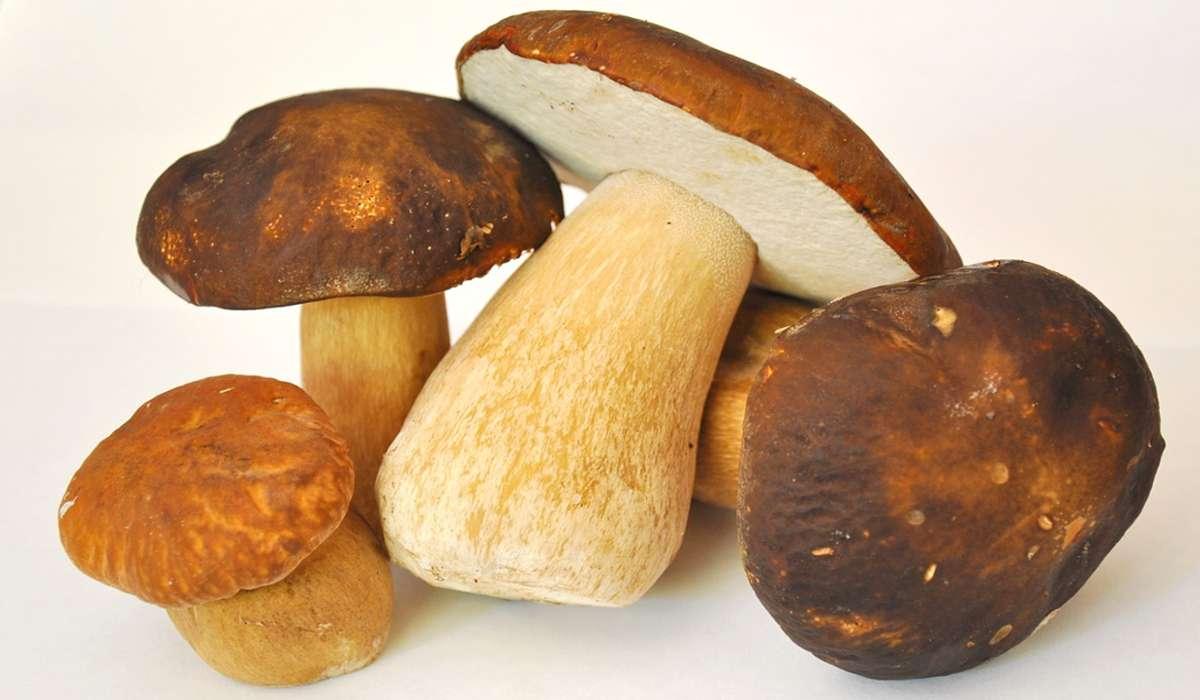 Quanto può essere spesso il cappello di un fungo porcino?