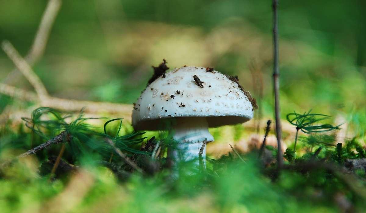 Come si chiama il fungo in figura?