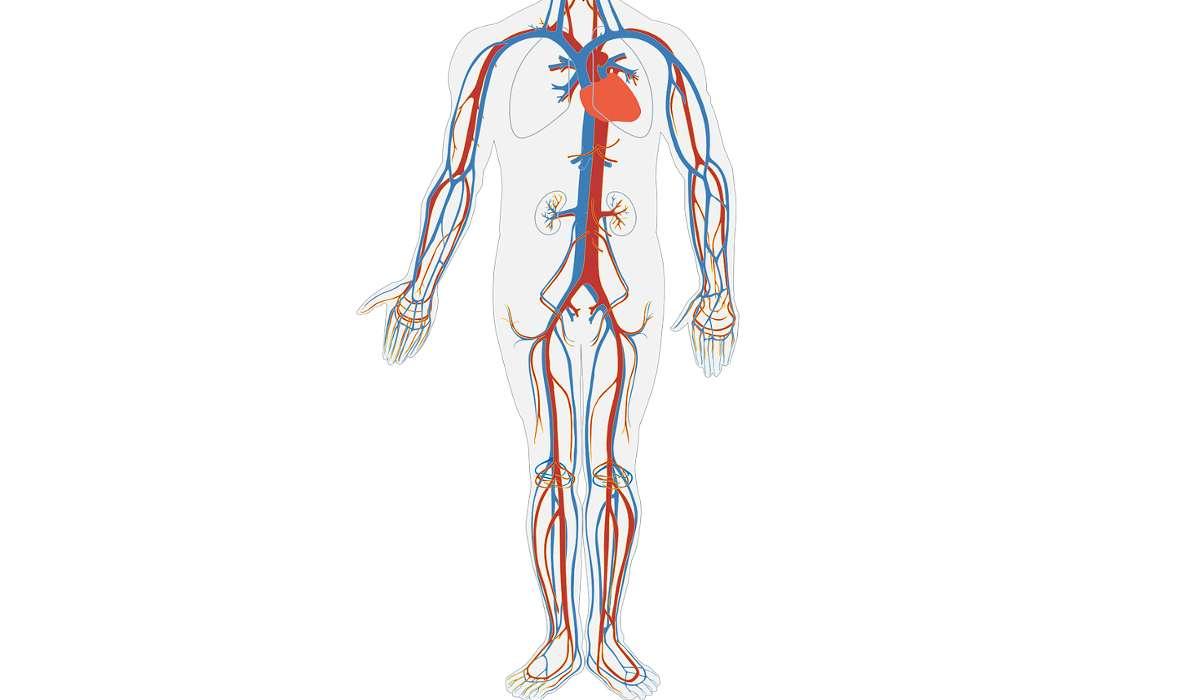 I capillari sono i vasi sanguigni più spessi.