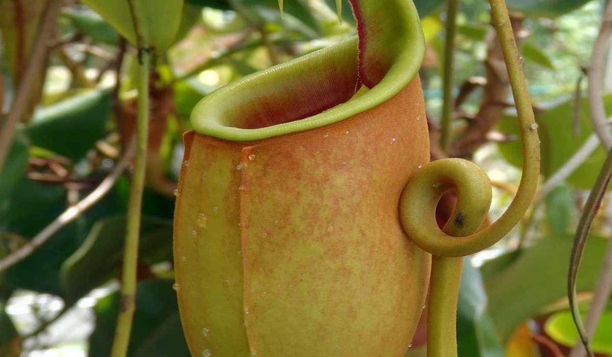 La Nepenthes bicalcarata è una pianta carnivora