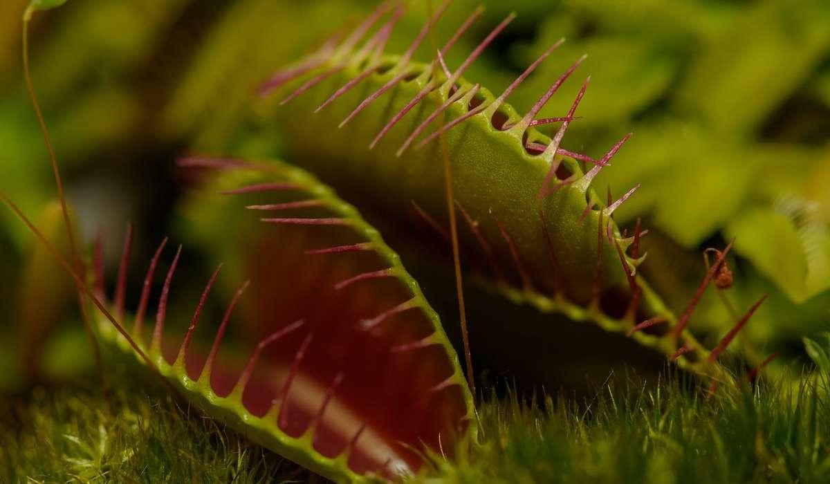 Di cosa si nutrono le piante carnivore?