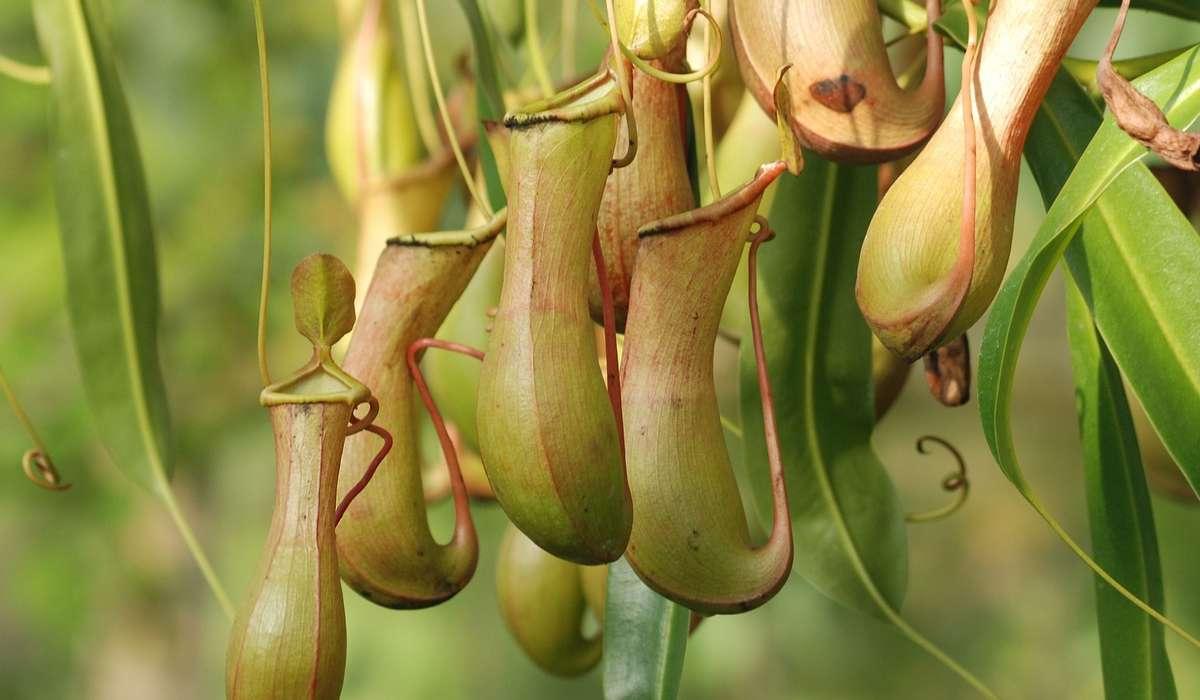 Perché queste piante mettono in atto delle trappole?