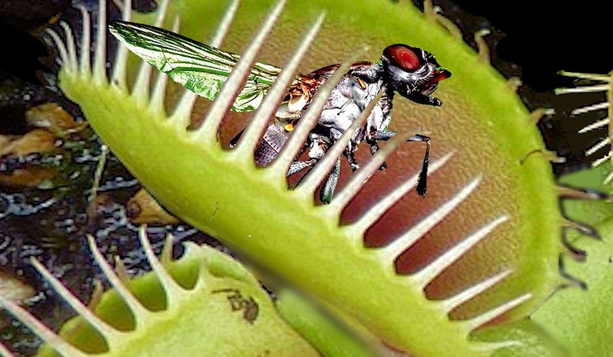 La venere acchiappamosche è sicuramente la pianta carnivora più famosa. Con quale altro nome è conosciuta?