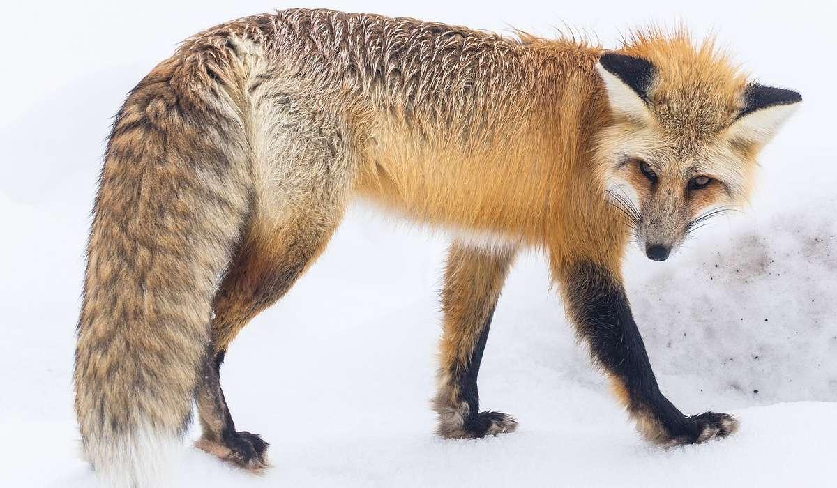 Quanto cibo mangia una volpe in un giorno?