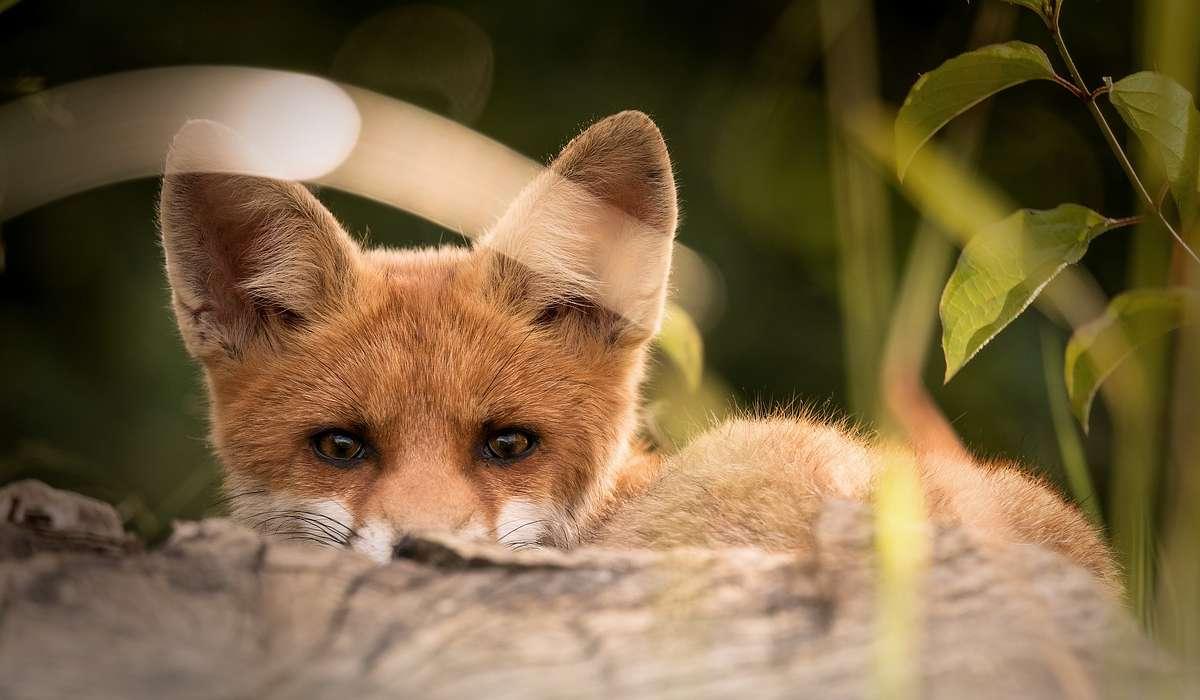 La volpe rossa, detta semplicemente volpe, è:
