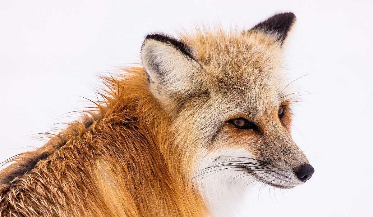 Come vivono solitamente le volpi?