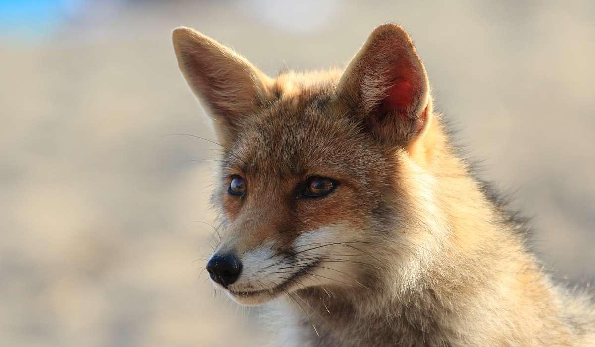 Il territorio di una volpe può estendersi fino a