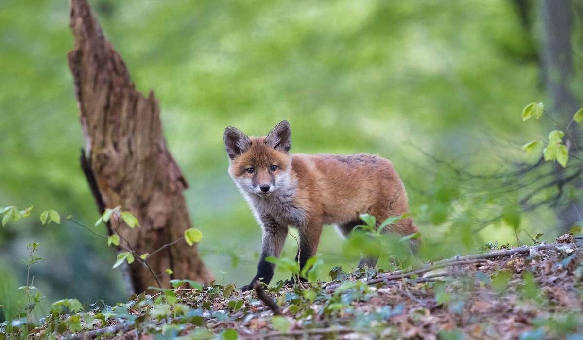 Nell'alimentazione la volpe si comporta come un animale?