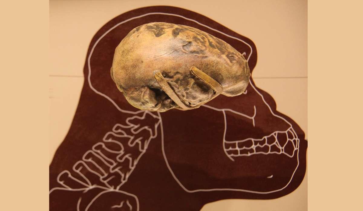 In quale dei due generi gli individui hanno o hanno avuto un cervello più piccolo?