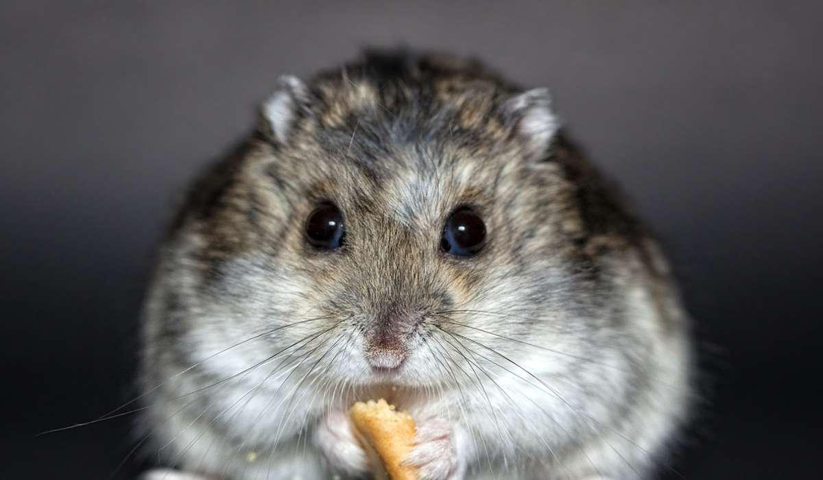 Dove conservano spesso il cibo i criceti?