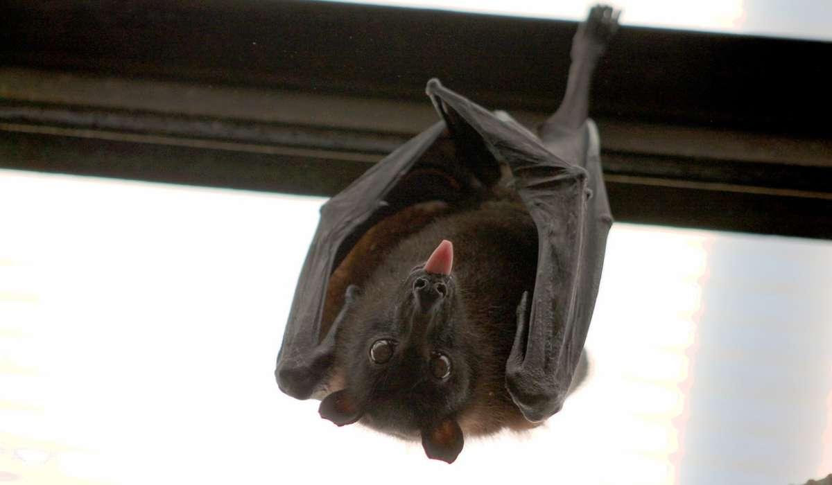 Come si chiamano anche gli animali comunemente conosciuti come pipistrelli?