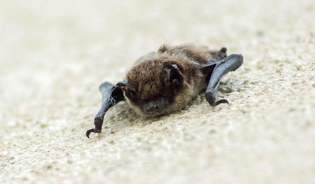 Quanti insetti può mangiare un pipistrello in una notte?