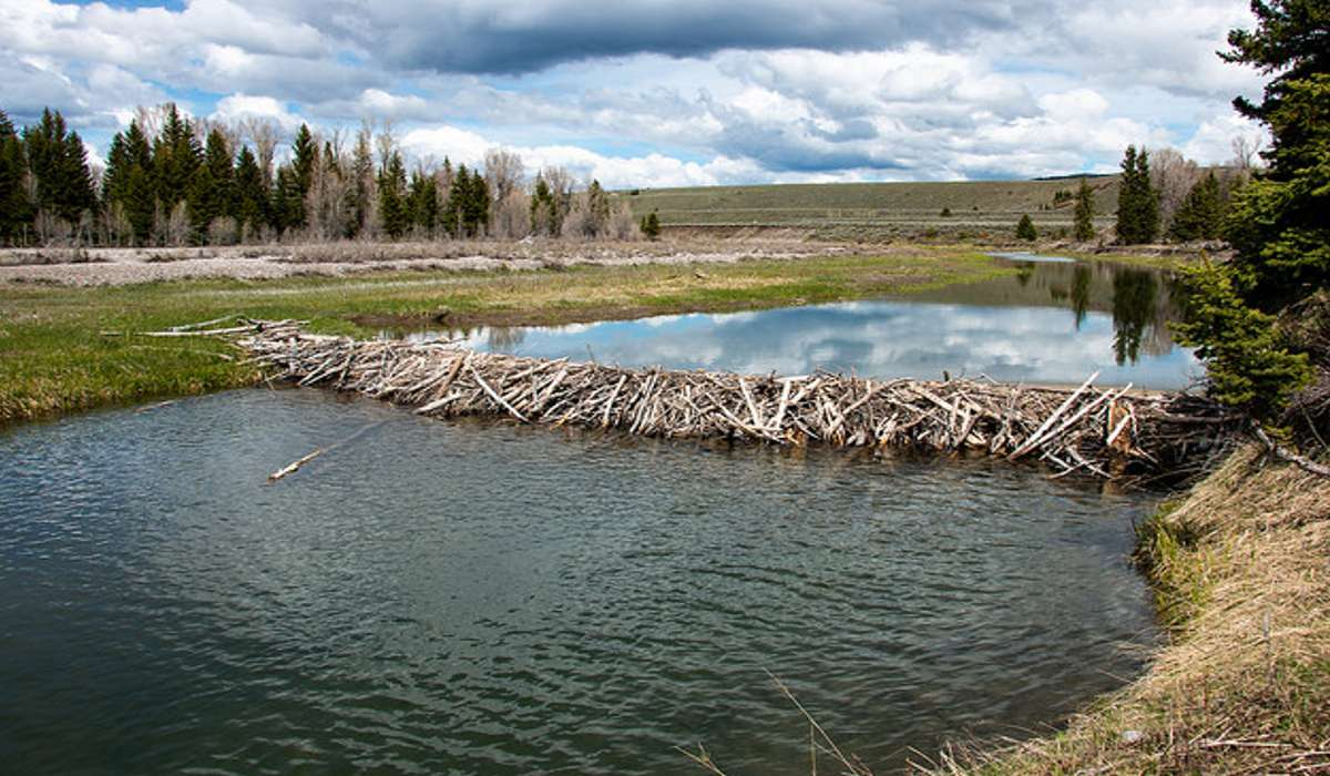 Quale tra questi roditori costruisce dighe?