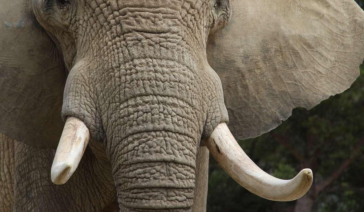 Quale materiale si può ricavare dalle zanne di un elefante?