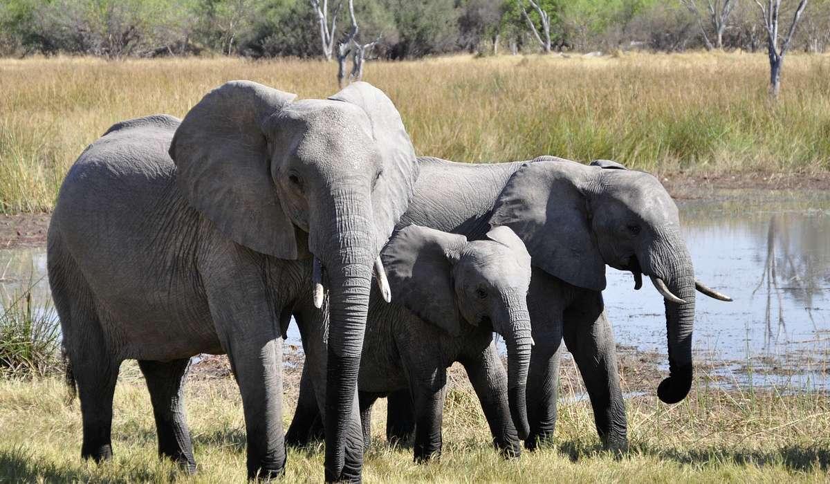 Quanto pesa un elefante africano di savana?