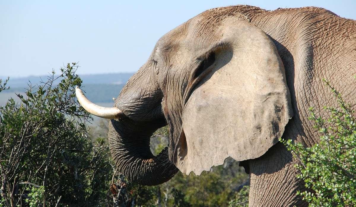 Cosa c'è di interessante nelle orecchie di un elefante?