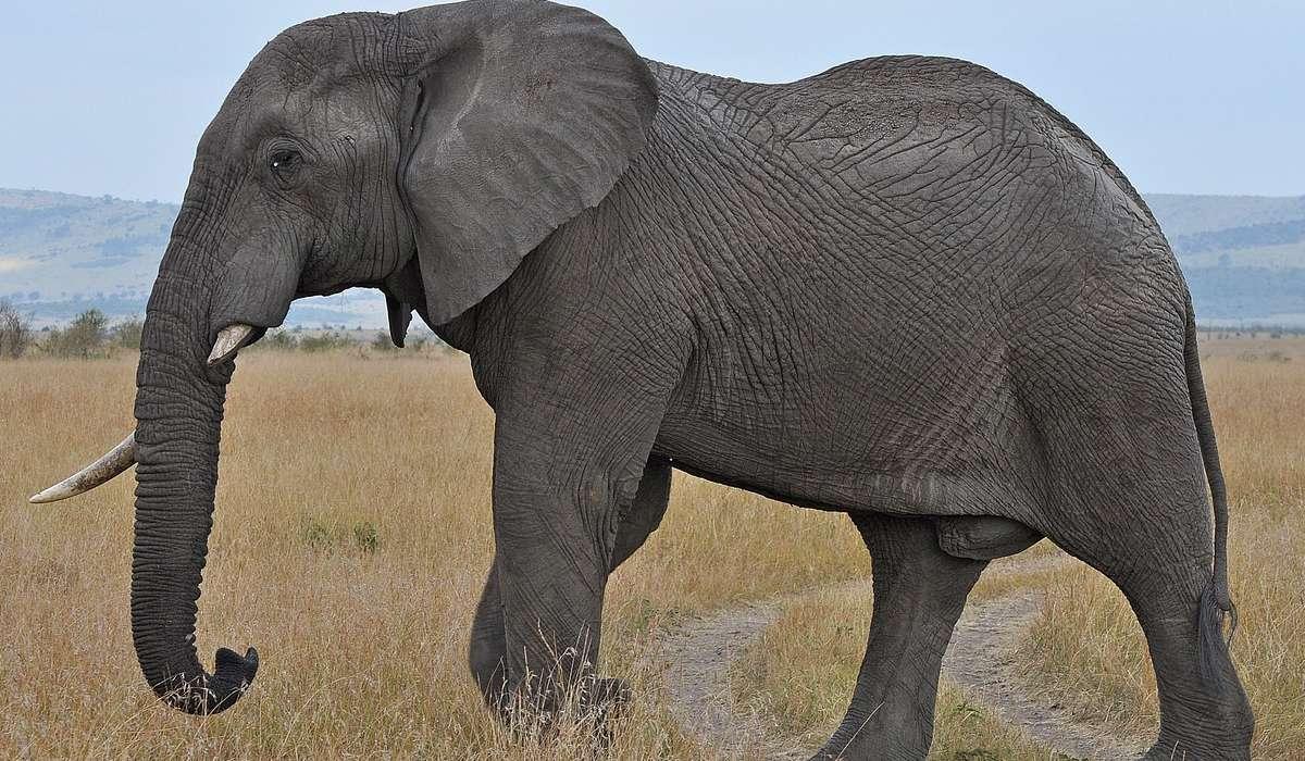 Gli elefanti grandi provengo da: