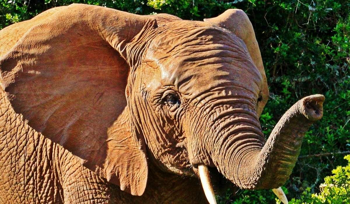 Quando l'elefante ha paura, cosa fa con la proboscide?