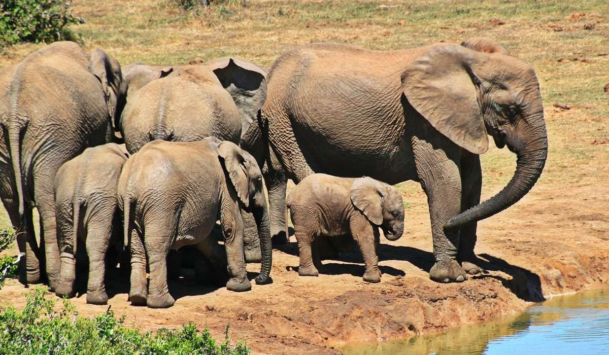 Come fa l'elefante a bere usando la proboscide?