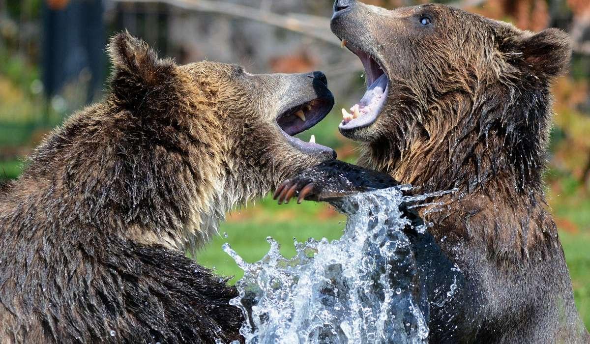 Cosa hanno in comune tutte le specie di orsi?