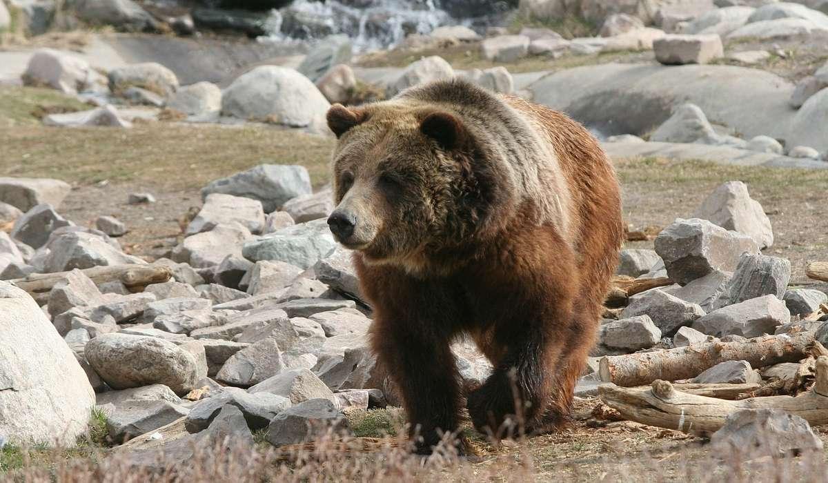 Quante falene mangiano gli orsi del parco di Yellowstone al giorno?