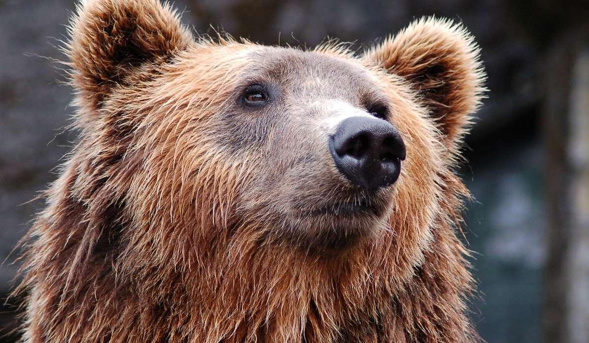 Come si chiamano gli orsi bruni del Nord America